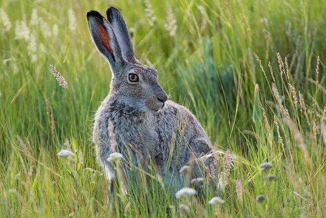 1906_2900 White-tailed Prairie Hare