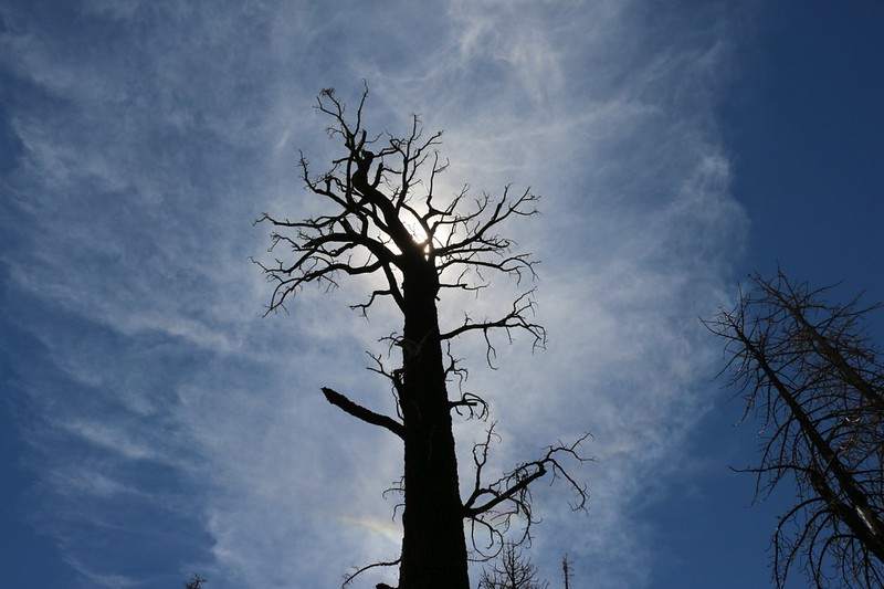 Dead, burned pine tree silhouette with cirrus clouds