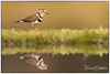 Three ringed plover