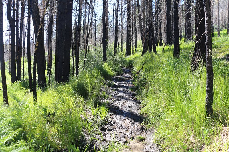 Burnt trees and a swampy trail