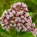 Up-close Milkweed