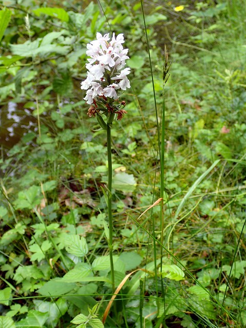 Dactylorhiza maculata - Orchis tacheté - Heath spotted-orchid or Moorland spotted orchid - 23/06/19
