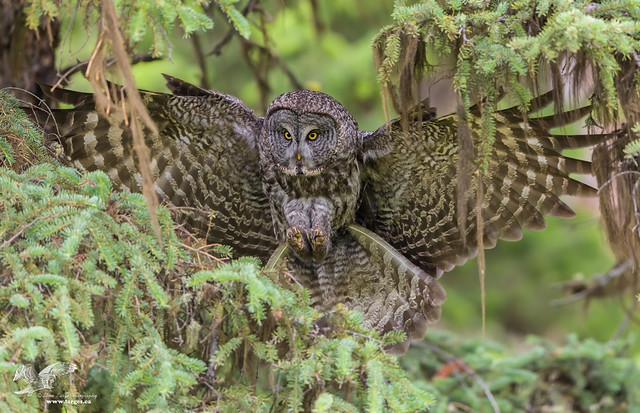 Moving With Flare (Great Grey Owl)