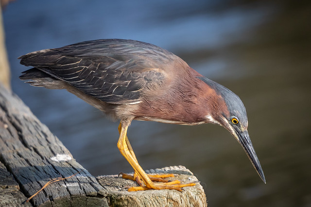 green heron in the local growing family (Butorides virescens, of the order Pelecaniformes and family Ardeidae)
