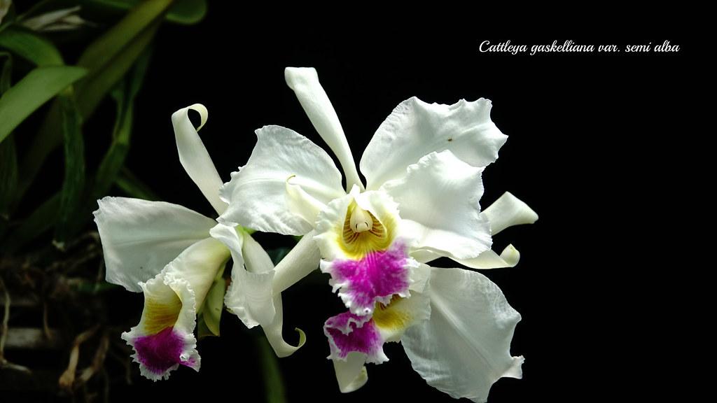 Cattleya gaskelliana var. semi alba