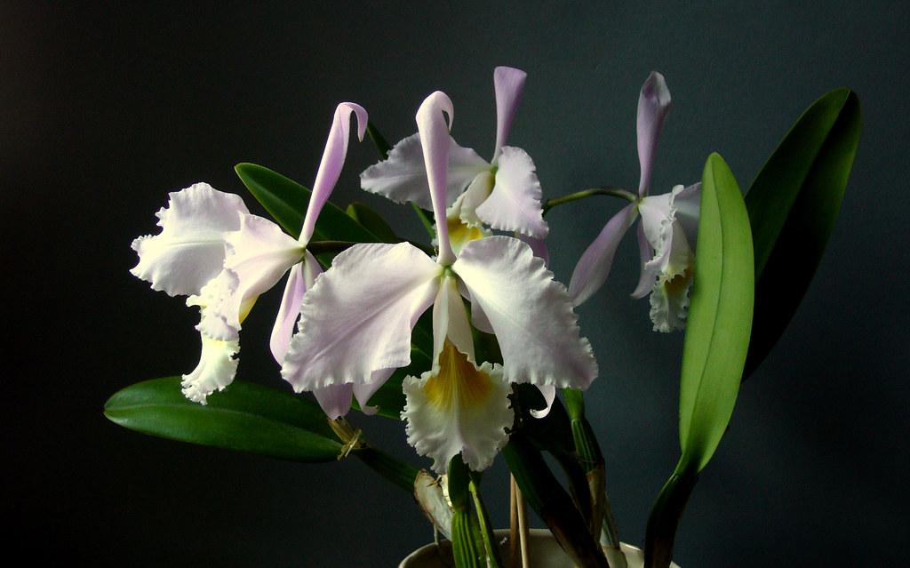 Cattleya gaskelliana var. concolor delicata 'Rio Caura'