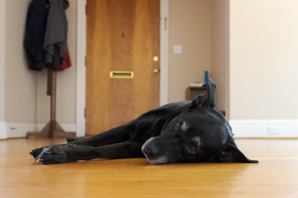 Our dog Ellie swivels her ears as she listens to sounds in the kitchen while relaxing on the hardwood floor of our living room in July 2013