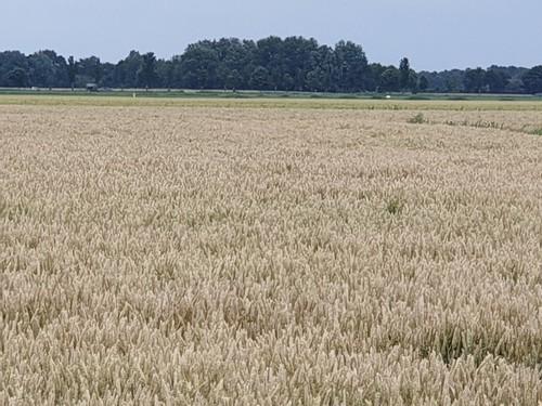 Juli 2019 Nederland: Hoe het graan geelt.