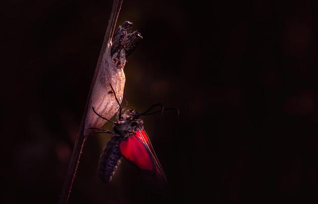 Burnett Moths (3)