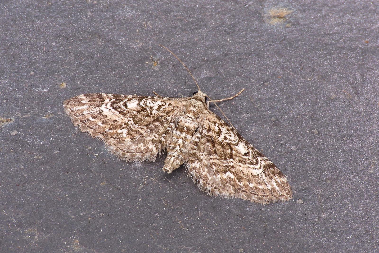 70.168 Narrow-winged Pug - Eupithecia nanata