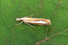 63.100 Silver-stripe Grass-veneer - Catoptria margaritella