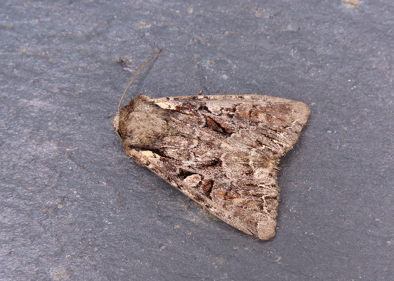 73.264 Pale-shouldered Brocade - Lacanobia thalassina