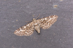 70.168 Narrow-winged Pug - Eupithecia nanata