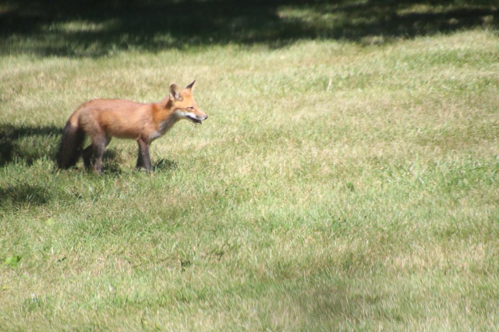 Red Fox and her Cub in My Backyard (Saline, Michigan) - Ju ...