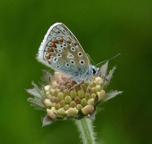 Common Blue; Wharram Quarry