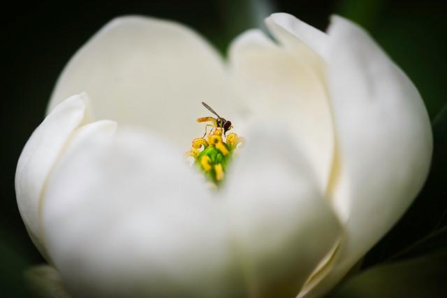 Zeroing In:  Flower Fly In Magnolia