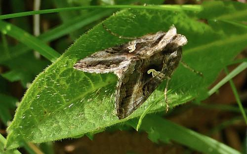 Silver Y Moth; Wharram Quarry