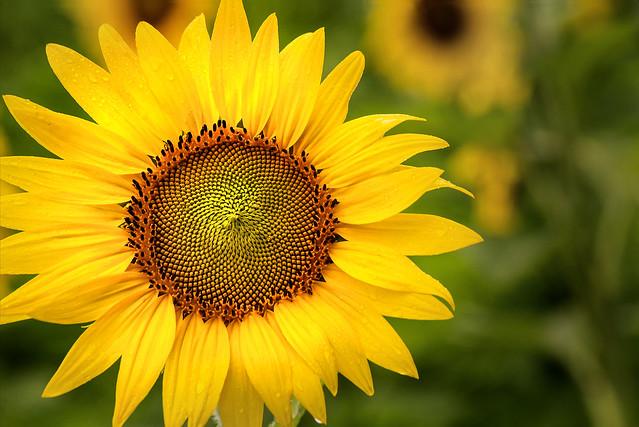 Sunflower in the Field 3-0 F LR 7-7-19 J062