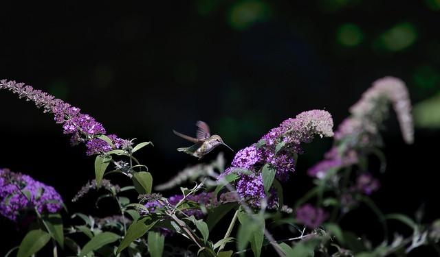 Backyard_Hummingbird