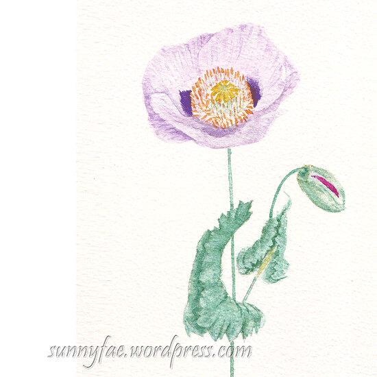 watercolour open poppy