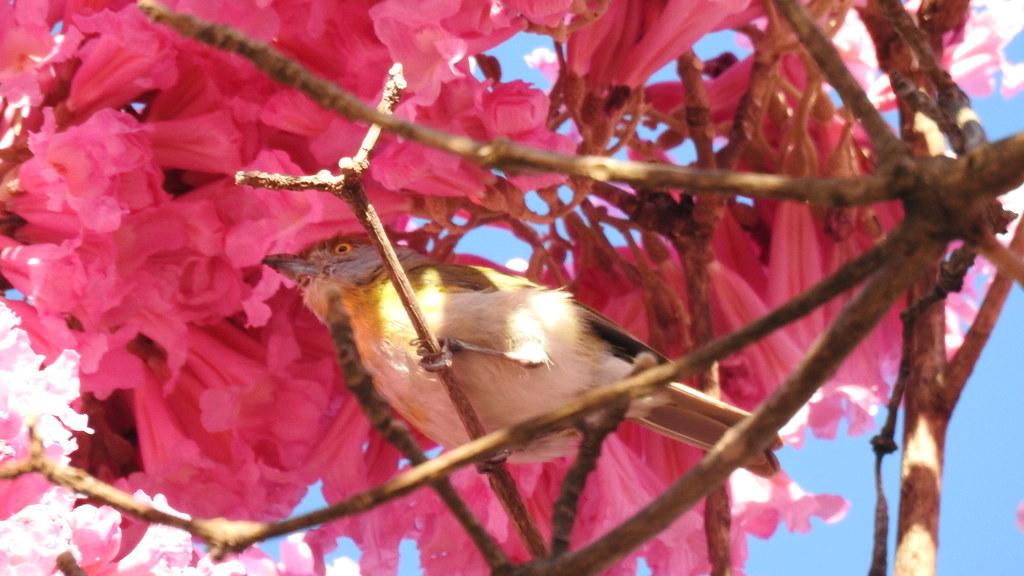 Pitiguari - Rufous-browed Peppershrike