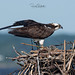 Osprey of the Jersey Shore | 2019 - 21