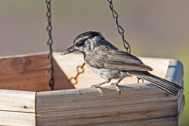 Mountain-Chickadee-18-7D2-070419
