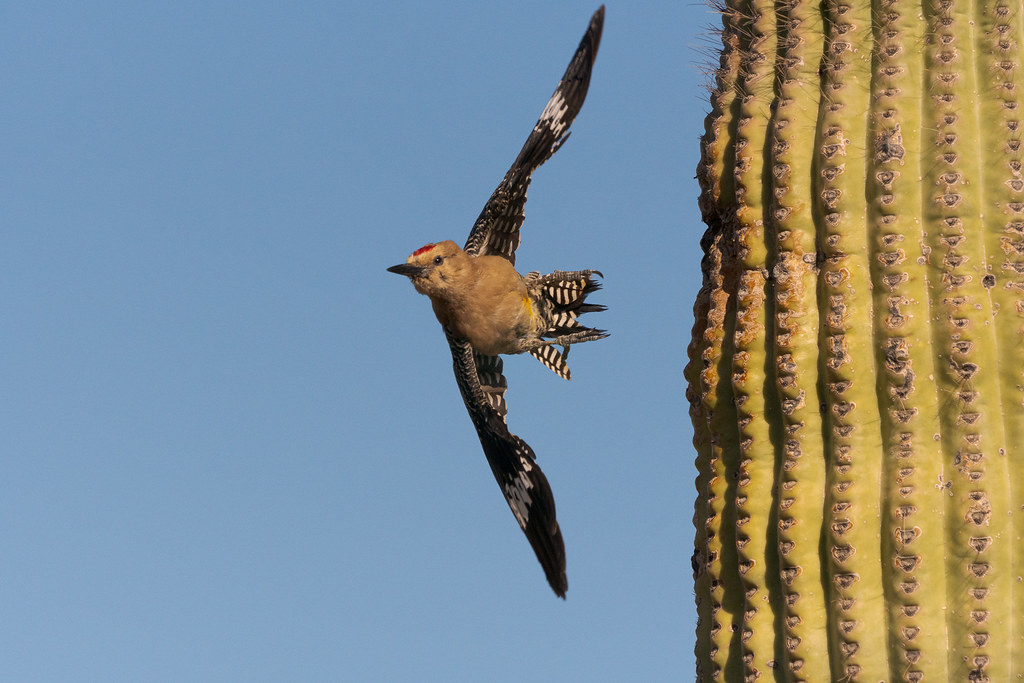 A male Gila woodpecker takes flight as he leaves his nest in a saguaro on the Latigo Trail in the Brown's Ranch area of McDowell Sonoran Preserve in Scottsdale, Arizona in May 2019