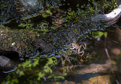 In the shallows - a Red-legged Frog