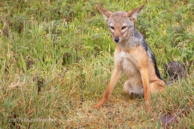 Black-backed Jackal Sits On Its Haunches In The Wet And Green Grass