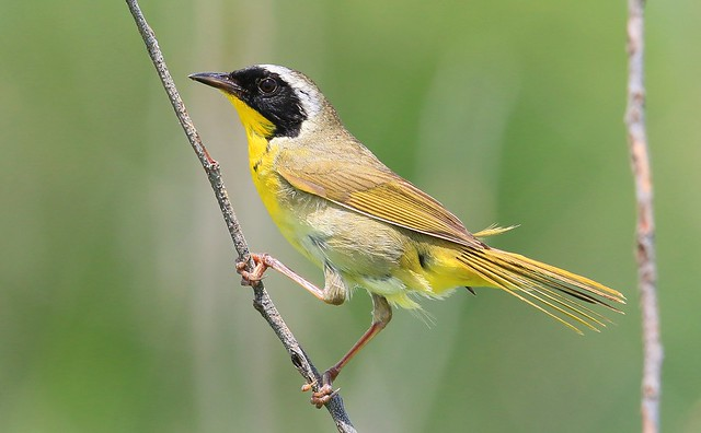 common yellowthroat male at Hayden Prairie State Preserve IA 653A2280