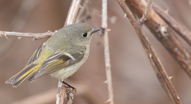 Roitelet à couronne rubis // Ruby-crowned Kinglet