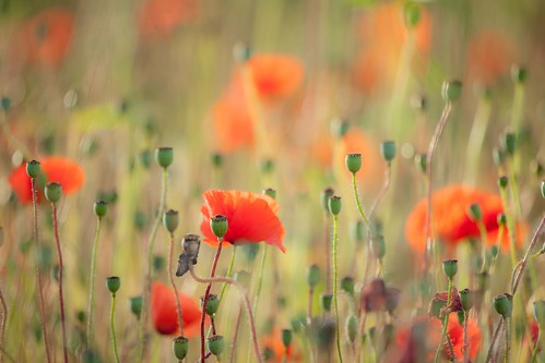 poppy poppies flora seedy heads red lights zoom creatively creative small world detail details swarkestone derby derbyshire east midlands england uk europe summer canon dslr 5d mkii 100400mm julian barker