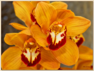 Orchid - Gold Phalenopsis