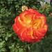 Intense rose