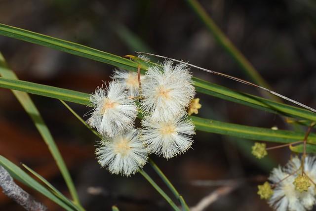 Acacia wildenowiana