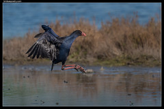Australasian Swamphen: Throttled Back