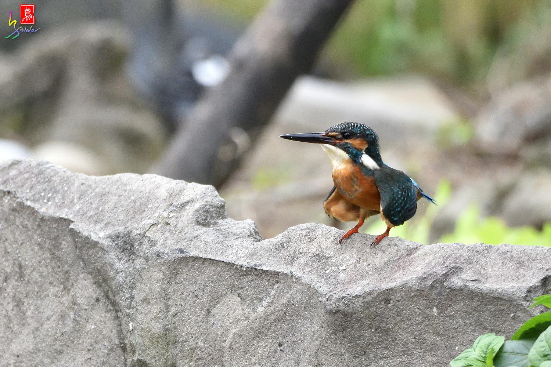 Common_Kingfisher_8528