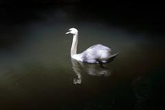 Swan spotlight