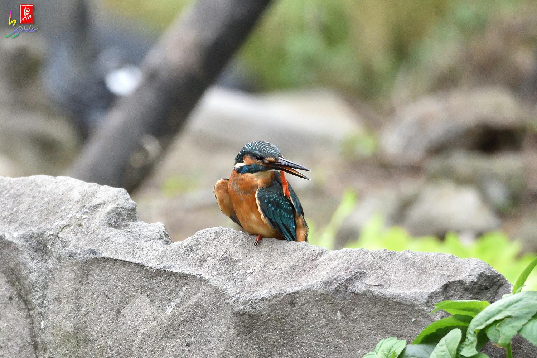 Common_Kingfisher_8578