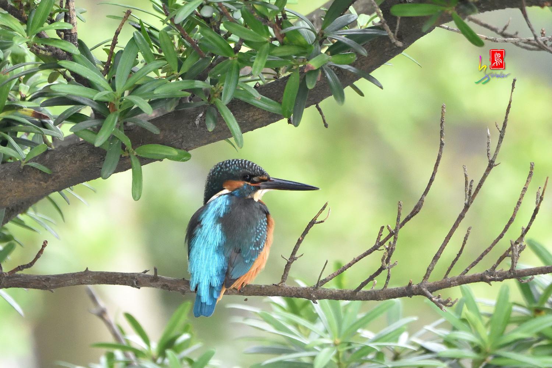 Common_Kingfisher_8673
