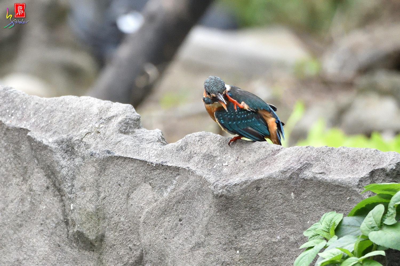 Common_Kingfisher_8562