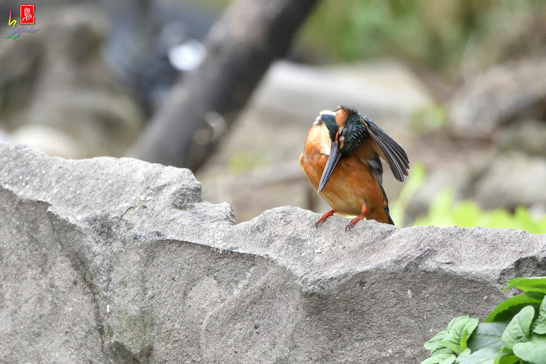 Common_Kingfisher_8538
