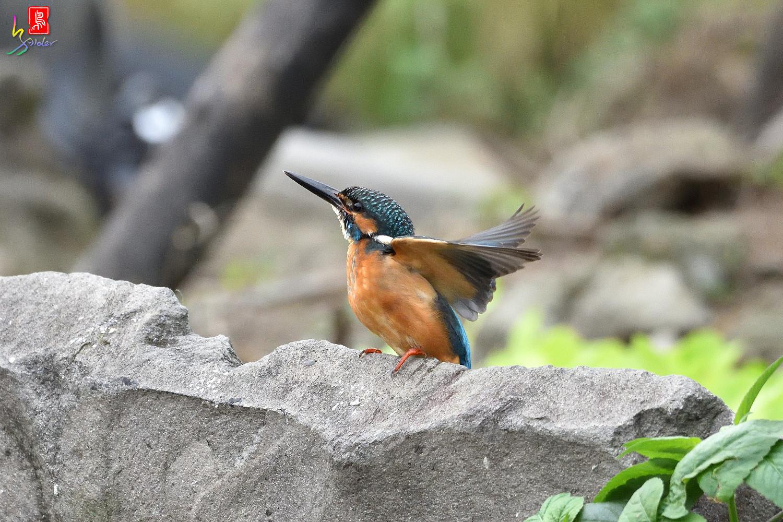 Common_Kingfisher_8445