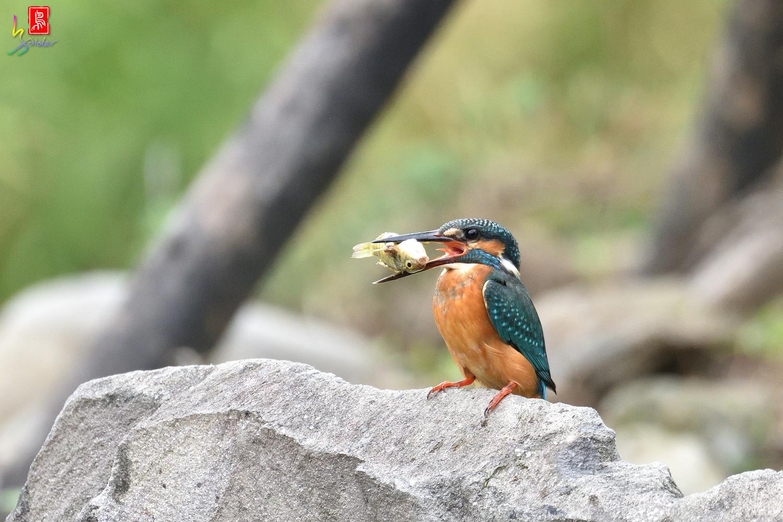 Common_Kingfisher_8298