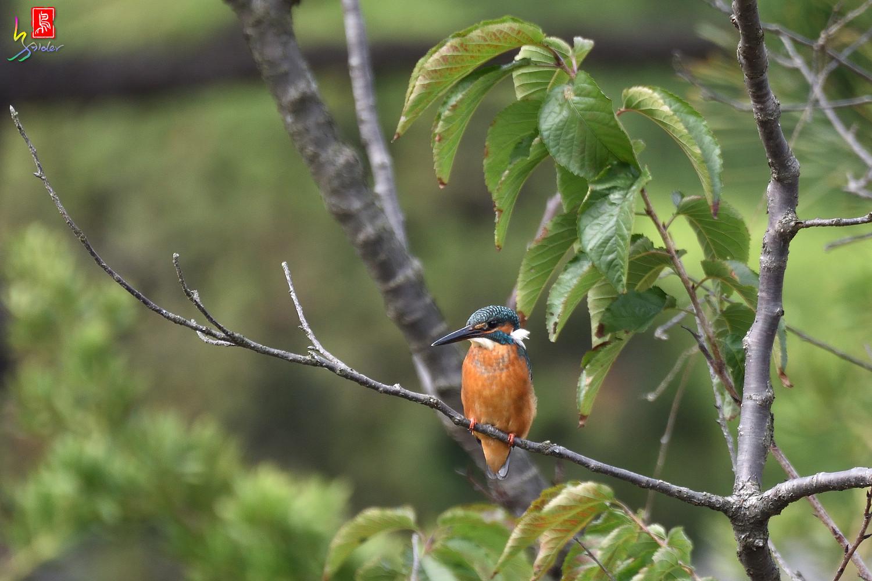 Common_Kingfisher_8167