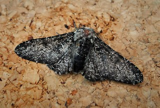 Peppered Moth (Biston betularia) form insularia