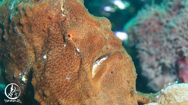 目の前に美味しそうな小魚が群れてて、きっとよだれ流してるにちがいないオオモンカエルアンコウちゃんw