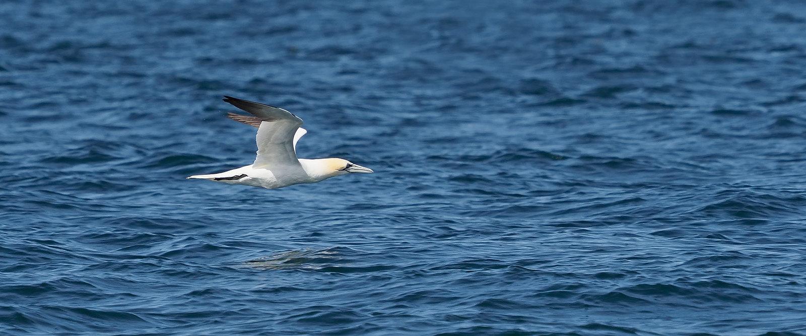 Gannet across the water