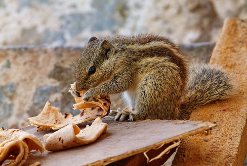 Squirrel - Udaipur, Rajasthan, India (22.01.2015)